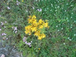 flore spontanée